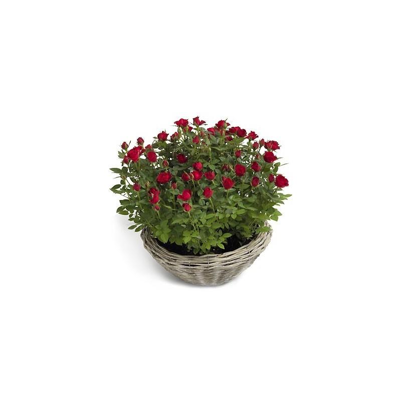 Róże w doniczce