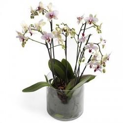 Phalaenopsis w naczyniu